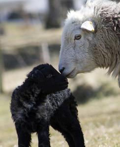 ewe&lamb