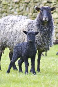 gotland&lamb