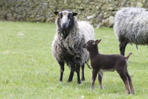 shetland&lamb